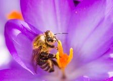 Abeja que poliniza una flor púrpura del azafrán Fotos de archivo libres de regalías