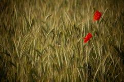 Abeja que poliniza una flor roja de la amapola en un campo de trigo Foto de archivo libre de regalías