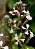 Abeja que poliniza una flor salvaje Imagen de archivo libre de regalías