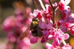 Abeja que poliniza una floración del redbud Imagen de archivo