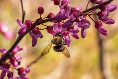 Abeja que poliniza una floración del redbud Fotografía de archivo libre de regalías