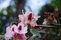 Abeja que poliniza Wildflowers rosados en California septentrional Imagen de archivo libre de regalías