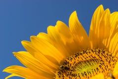 Abeja que poliniza y que recoge el polen en el flor amarillo de la flor en un día de verano soleado con el cielo azul profundo Foto de archivo libre de regalías