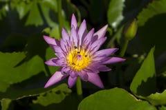 Abeja que pulula en la flor de loto Fotos de archivo libres de regalías
