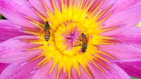 Abeja que pulula la flor de Lotus metrajes