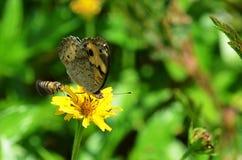 Abeja que quiere aterrizar en un amarillo margarita-como el wildflower ocupado por una mariposa Foto de archivo libre de regalías