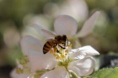 Abeja que recoge ascendente cercano del polen y del néctar Sido en flor Concepto del néctar y de la miel Abeja en la flor floreci Imagenes de archivo