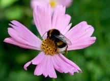 Abeja que recoge el néctar Imágenes de archivo libres de regalías