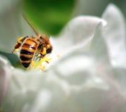 Abeja que recoge el néctar Fotografía de archivo libre de regalías