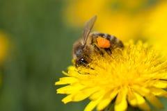 Abeja que recoge el néctar Imagenes de archivo