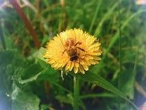 Abeja que recoge el néctar Fotografía de archivo