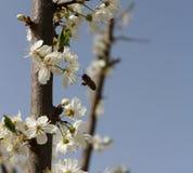 Abeja que recoge el néctar Foto de archivo