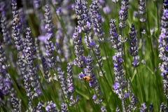 Abeja que recoge el néctar como abeja que trabaja en una flor de la lavanda Fotos de archivo