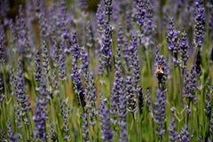 Abeja que recoge el néctar como abeja que trabaja en una flor de la lavanda Fotos de archivo libres de regalías