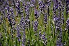 Abeja que recoge el néctar como abeja que trabaja en una flor de la lavanda Foto de archivo libre de regalías
