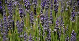 Abeja que recoge el néctar como abeja que trabaja en una flor de la lavanda Imagen de archivo