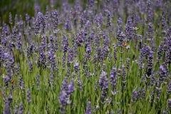 Abeja que recoge el néctar como abeja que trabaja en una flor de la lavanda Imagen de archivo libre de regalías