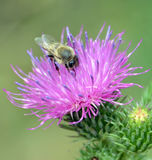 Abeja que recoge el néctar de la flor Fotografía de archivo libre de regalías