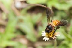 Abeja que recoge el néctar de la flor Imágenes de archivo libres de regalías