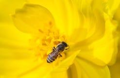 Abeja que recoge el néctar de la flor Fotos de archivo libres de regalías