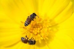 Abeja que recoge el néctar de la flor Imagenes de archivo