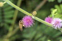 Abeja que recoge el néctar de la flor Fotografía de archivo