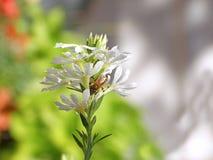 Abeja que recoge el néctar de la flor Foto de archivo