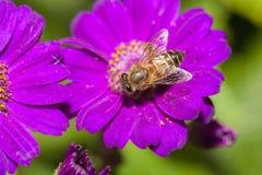Abeja que recoge el néctar de la flor Foto de archivo libre de regalías