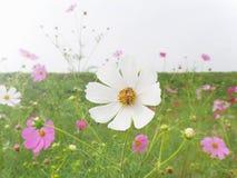 Abeja que recoge el néctar de la flor blanca del cosmos Imagen de archivo libre de regalías
