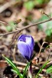 Flor de la abeja y del azafrán Fotos de archivo