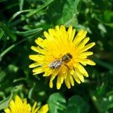 Abeja que recoge el néctar de la flor del diente de león Imagen de archivo