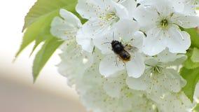 Abeja que recoge el néctar de la flor en primavera almacen de metraje de vídeo