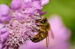 Abeja que recoge el néctar de la flor rosada Imagenes de archivo