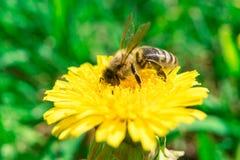 Abeja que recoge el néctar de la miel en el diente de león amarillo en el verano Foto de archivo libre de regalías