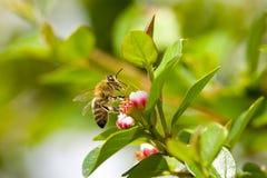 Abeja que recoge el néctar de las flores Fotos de archivo libres de regalías