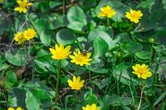 Abeja que recoge el néctar de las flores amarillas Fotografía de archivo libre de regalías