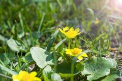 Abeja que recoge el néctar de las flores amarillas Fotos de archivo