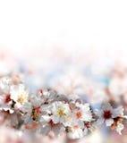 Abeja que recoge el néctar de las flores del árbol de melocotón Imagen de archivo