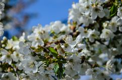 Abeja que recoge el néctar de las flores del cerezo Foto de archivo libre de regalías