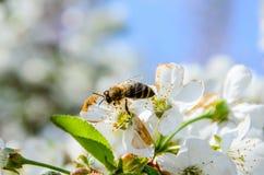 Abeja que recoge el néctar de las flores del cerezo Fotografía de archivo libre de regalías