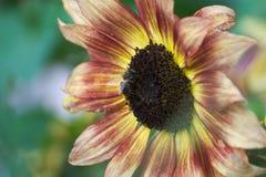 Abeja que recoge el néctar de un girasol Fotos de archivo