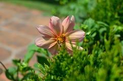 Abeja que recoge el néctar de una dalia Imagen de archivo