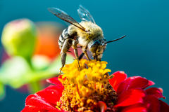 Abeja que recoge el néctar de una flor roja Imagenes de archivo