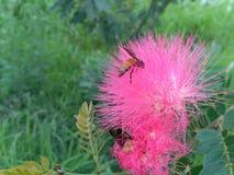 Abeja que recoge el néctar de una flor rosada hermosa Fotos de archivo
