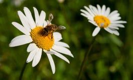 Abeja que recoge el néctar de una manzanilla de la flor Foto de archivo libre de regalías