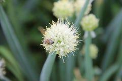 Abeja que recoge el néctar de una planta comestible, cebollas verdes perennes florecientes (Galés), creciendo en el jardín Foto de archivo