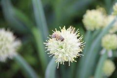 Abeja que recoge el néctar de una planta comestible, cebollas verdes perennes florecientes (Galés), creciendo en el jardín Fotografía de archivo libre de regalías