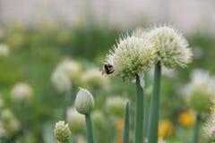 Abeja que recoge el néctar de una planta comestible, cebollas verdes perennes florecientes (Galés), creciendo en el jardín Imagen de archivo libre de regalías