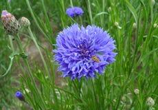 Abeja que recoge el néctar del aciano púrpura vivo en un campo verde Imagen de archivo