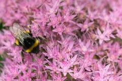 Abeja que recoge el néctar del campo de flores rosado Foto de archivo